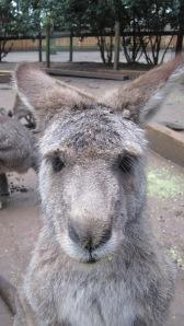 Kangaroo_lashes