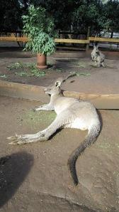 Kangaroo_lying