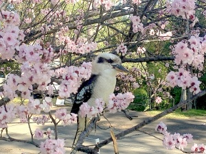 Kookaburra_bright