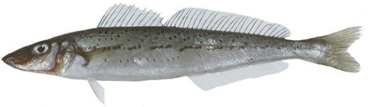 King_George_Whiting