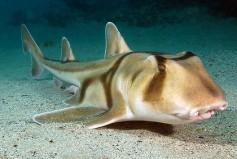 Port-Jackson-Shark