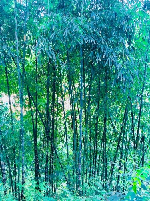 Helasi_Bambus