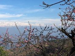 Himalaya Everest Blossom